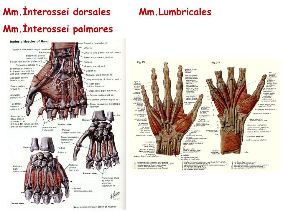 Mm.İnterossei dorsales Mm.Lumbricales Mm.İnterossei palmares