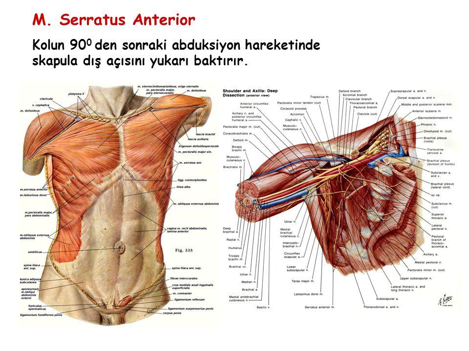 M. Serratus Anterior Kolun 90 0 den sonraki abduksiyon hareketinde skapula dış açısını yukarı baktırır.