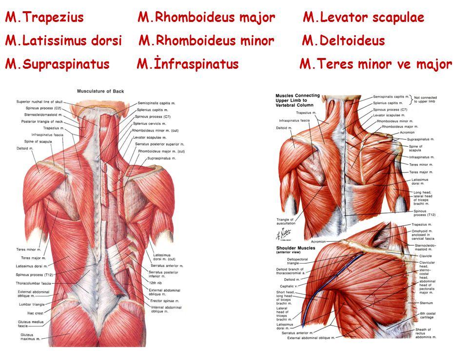 M.Trapezius M.Rhomboideus major M.Levator scapulae M.Latissimus dorsi M.Rhomboideus minor M.Deltoideus M.Supraspinatus M.İnfraspinatus M.Teres minor v