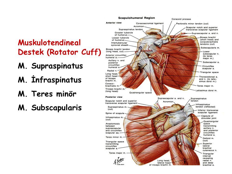 Muskulotendineal Destek (Rotator Cuff) M. Supraspinatus M. İnfraspinatus M. Teres minör M. Subscapularis