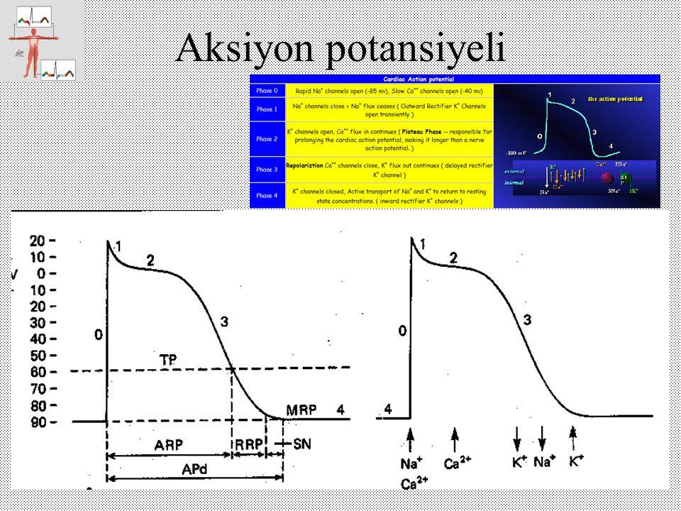 Çeşitli hücrelerde aksiyon potansiyeller Miyokard hücresi pacemaker hücresi