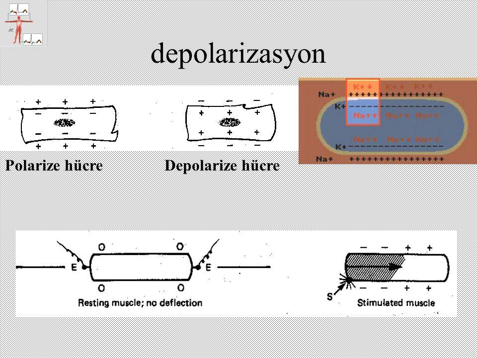 depolarizasyon Polarize hücreDepolarize hücre