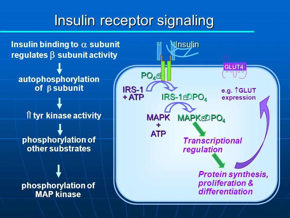Insulin receptor signaling PO 4  IRS-1 + ATP IRS-1  PO 4 Insulin binding to  subunit regulates  subunit activityInsulin autophosphorylation of  subunit GLUT4 phosphorylation of other substrates  tyr kinase activity activation of phospho- inositide 3-kinase Glucose transporter translocation to plasma membrane