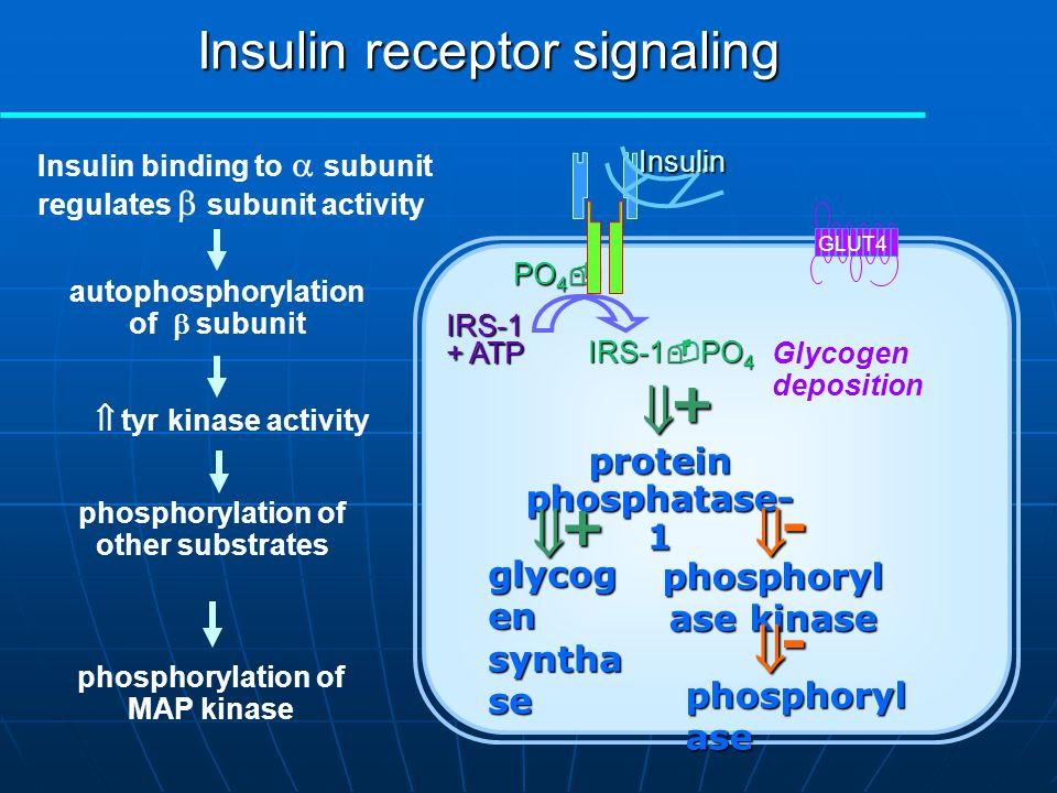 PO 4  IRS-1 + ATP IRS-1  PO 4 Insulin GLUT4 phosphorylation of MAP kinase MAPK + ATP MAPK  PO 4 Transcriptional regulation Protein synthesis, proliferation & differentiation Insulin binding to  subunit regulates  subunit activity autophosphorylation of  subunit phosphorylation of other substrates  tyr kinase activity Insulin receptor signaling e.g.