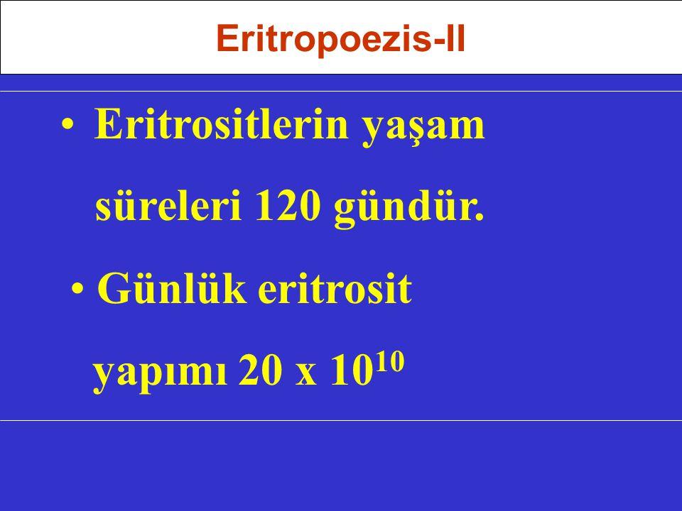 Eritrositlerin yaşam süreleri 120 gündür. Günlük eritrosit yapımı 20 x 10 10 Eritropoezis-II