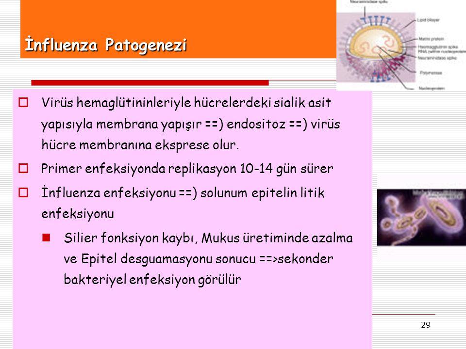 29 İnfluenza Patogenezi  Virüs hemaglütininleriyle hücrelerdeki sialik asit yapısıyla membrana yapışır ==) endositoz ==) virüs hücre membranına ekspr