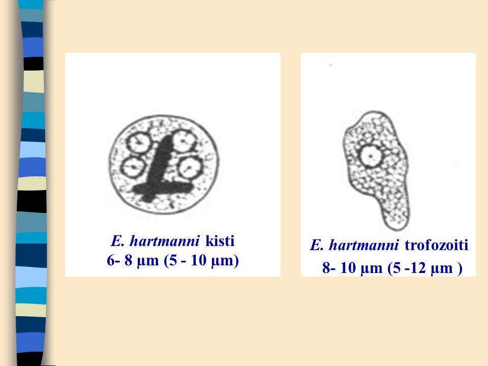 E. hartmanni kisti 6- 8 µm (5 - 10 µm) E. hartmanni trofozoiti 8- 10 µm (5 -12 µm )