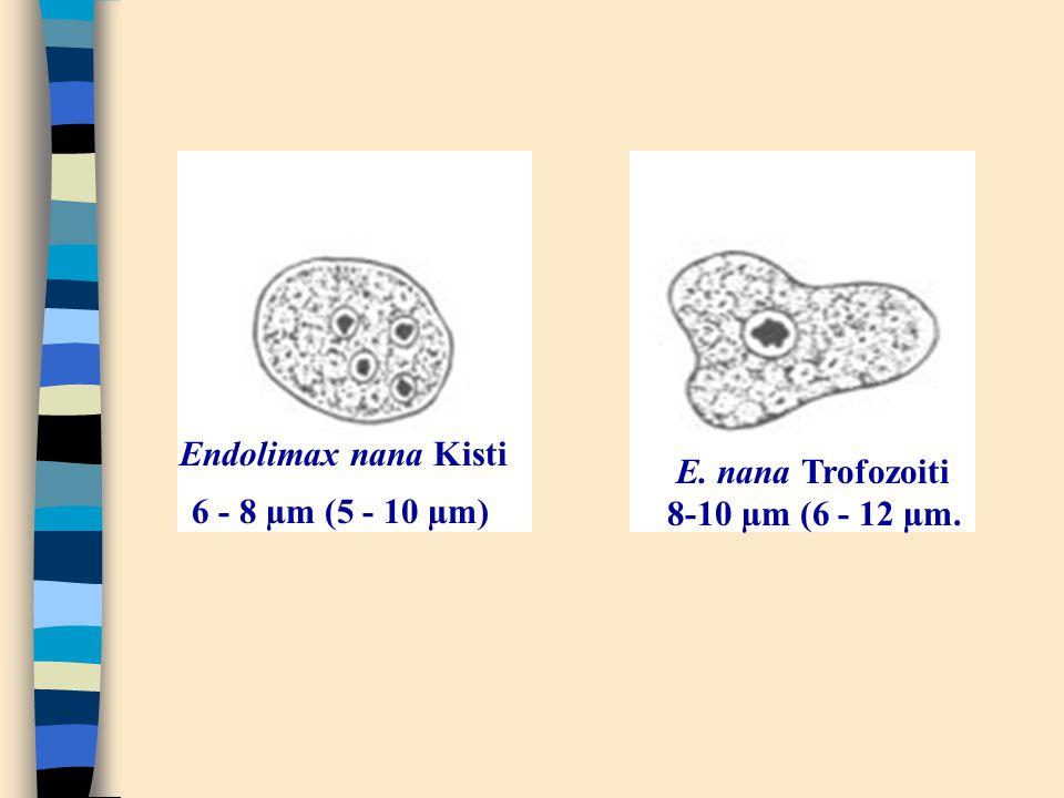 Endolimax nana Kisti 6 - 8 µm (5 - 10 µm) E. nana Trofozoiti 8-10 µm (6 - 12 µm.