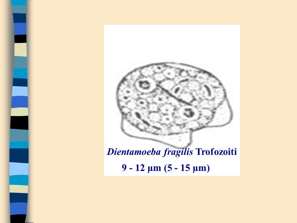 Dientamoeba fragilis Trofozoiti 9 - 12 µm (5 - 15 µm)