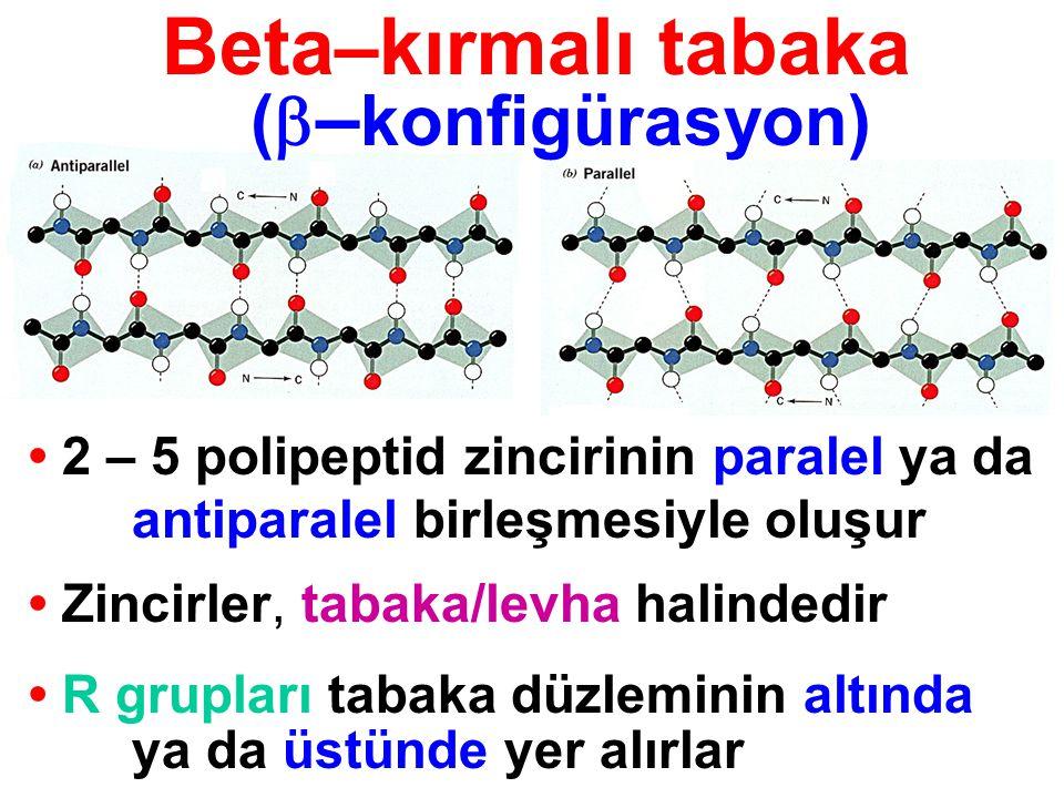 Beta–kırmalı tabaka 2 – 5 polipeptid zincirinin paralel ya da antiparalel birleşmesiyle oluşur Zincirler, tabaka/levha halindedir R grupları tabaka dü