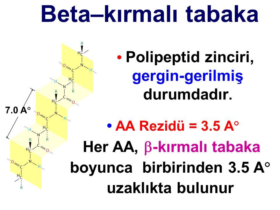Beta–kırmalı tabaka 7.0 A  AA Rezidü = 3.5 A  Her AA,  -kırmalı tabaka boyunca birbirinden 3.5 A  uzaklıkta bulunur Polipeptid zinciri, gergin-ger