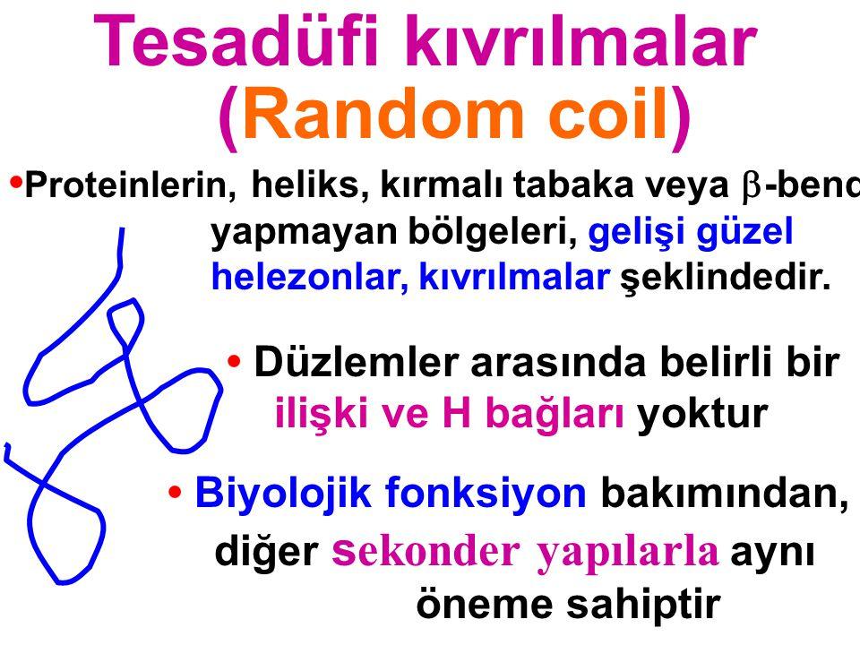 Tesadüfi kıvrılmalar ((Random coil) Düzlemler arasında belirli bir ilişki ve H bağları yoktur Biyolojik fonksiyon bakımından, diğer s ekonder yapılarl
