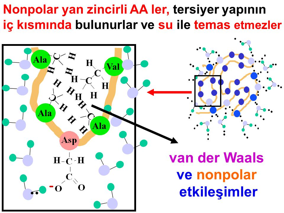 Nonpolar yan zincirli AA ler, tersiyer yapının iç kısmında bulunurlar ve su ile temas etmezler Ala Val Ala C H H H H H C H H H C H H H C H H H C van d