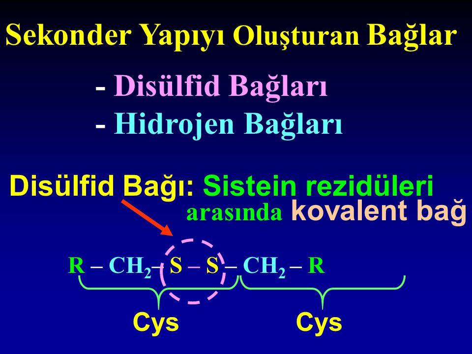 Hidrojen Bağları Polipeptid zincirleri içinde veya arasında, polar ve yüksüz, -OH, -NH, -NH 2 grupları ile -C=O arasında medana gelir  (+) H atomları ile  (-) O atomları arasındaki elektrostatik çekim gücü Protein yüzeyinde bulunan polar gruplar ile su molekülleri arasında da oluşabilir Düşük enerjili zayıf bağlar ömrü kısa( 1x10 -9 sn) Sayıları çok stabilite
