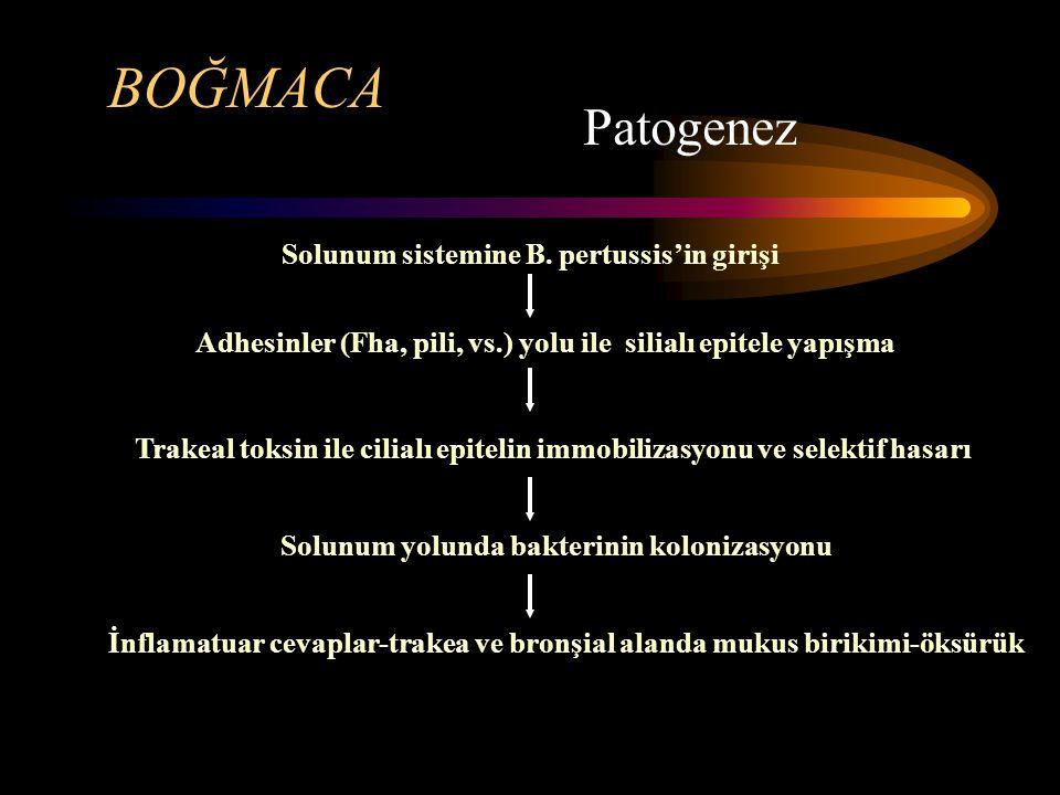 BOĞMACA Patogenez Solunum sistemine B.