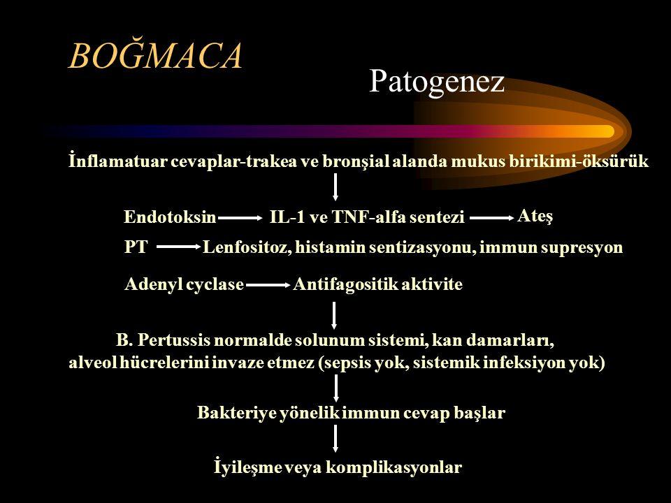 BOĞMACA Patogenez İnflamatuar cevaplar-trakea ve bronşial alanda mukus birikimi-öksürük Endotoksin B. Pertussis normalde solunum sistemi, kan damarlar
