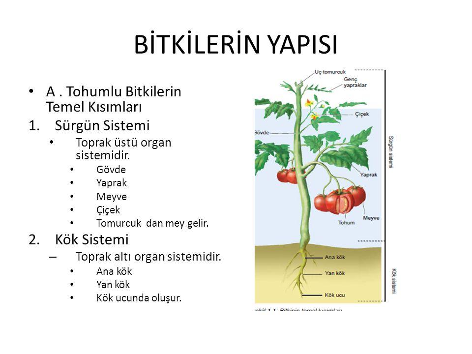 B.BİTKİSEL DOKULAR Kök, organ, yaprak gibi organlarda farklı dokular bulunur.