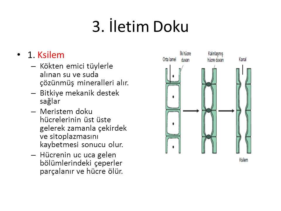 3. İletim Doku 1. Ksilem – Kökten emici tüylerle alınan su ve suda çözünmüş mineralleri alır. – Bitkiye mekanik destek sağlar – Meristem doku hücreler