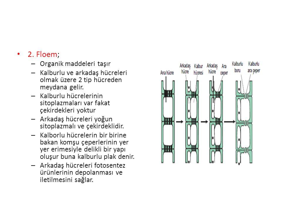 2. Floem; – Organik maddeleri taşır – Kalburlu ve arkadaş hücreleri olmak üzere 2 tip hücreden meydana gelir. – Kalburlu hücrelerinin sitoplazmaları v