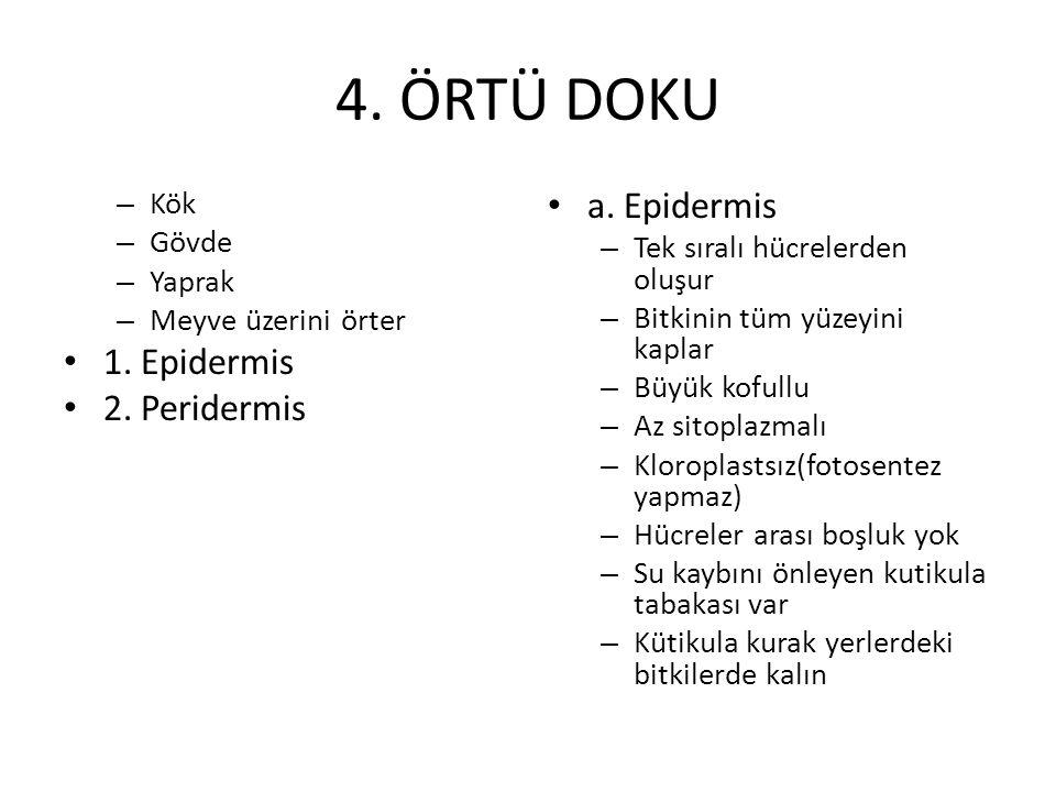 4. ÖRTÜ DOKU – Kök – Gövde – Yaprak – Meyve üzerini örter 1. Epidermis 2. Peridermis a. Epidermis – Tek sıralı hücrelerden oluşur – Bitkinin tüm yüzey