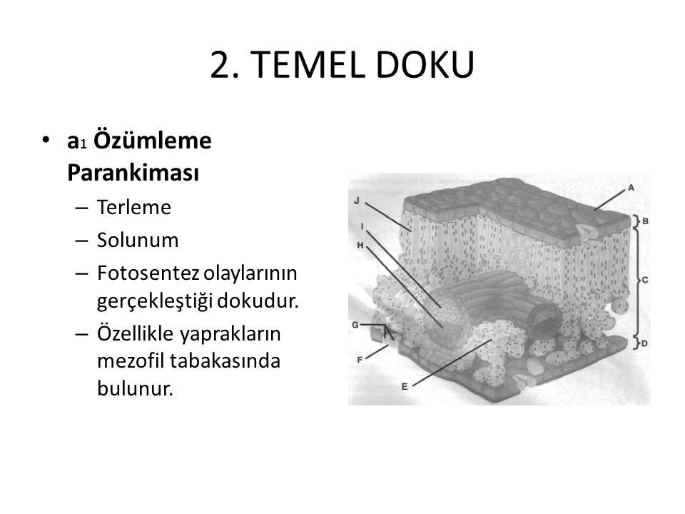 2. TEMEL DOKU a 1 Özümleme Parankiması – Terleme – Solunum – Fotosentez olaylarının gerçekleştiği dokudur. – Özellikle yaprakların mezofil tabakasında