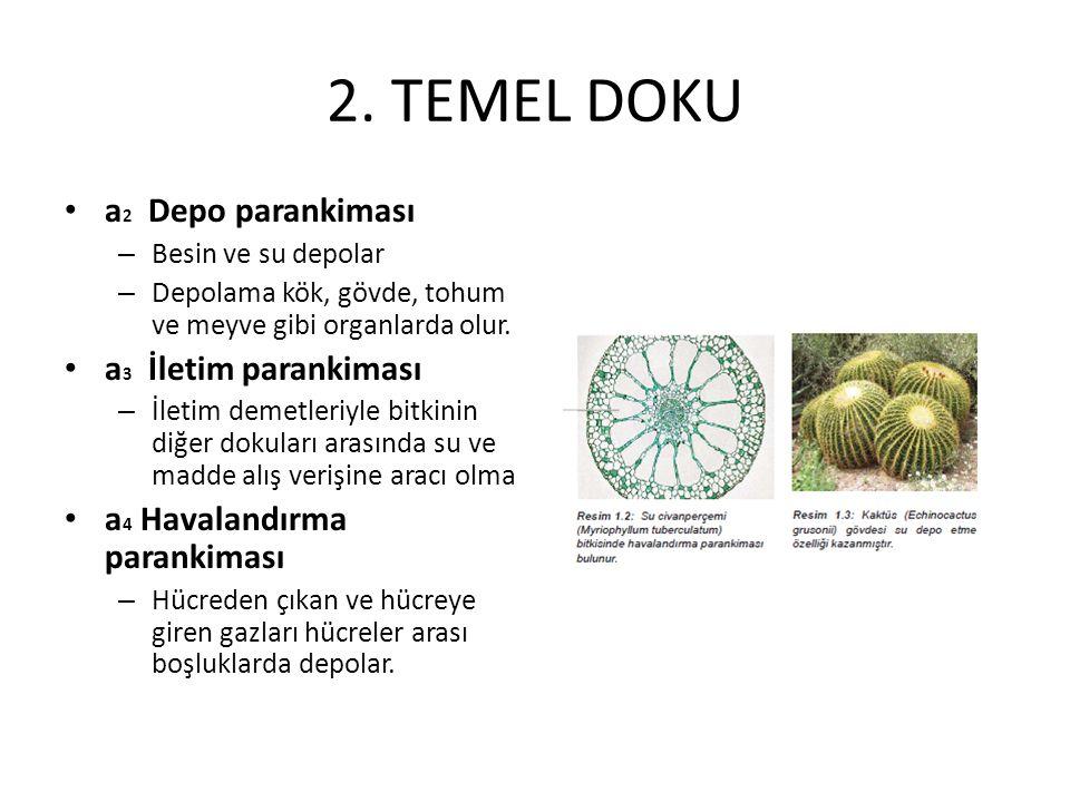 2. TEMEL DOKU a 2 Depo parankiması – Besin ve su depolar – Depolama kök, gövde, tohum ve meyve gibi organlarda olur. a 3 İletim parankiması – İletim d