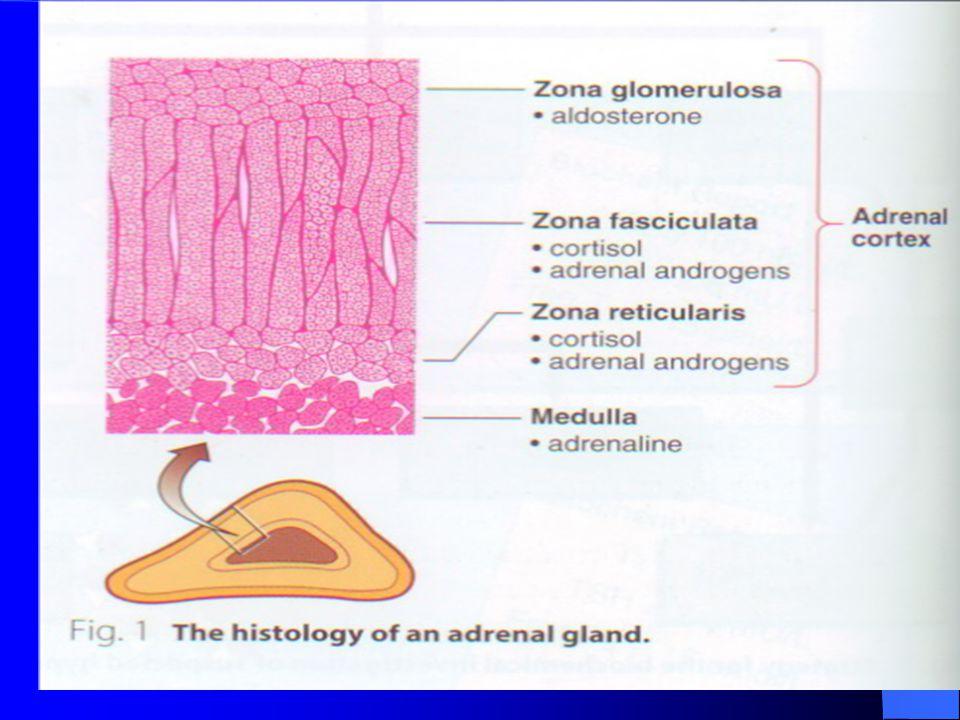 Glukokortikoidler  Zona retikülaris + Zona fasikülata Mineralokortikoidler  Zona glomerulosa Cinsiyet hormonları  Zona retikülaris +Zona fasikülata Hücre içi reseptörlerle kompleks  gen expresyonu