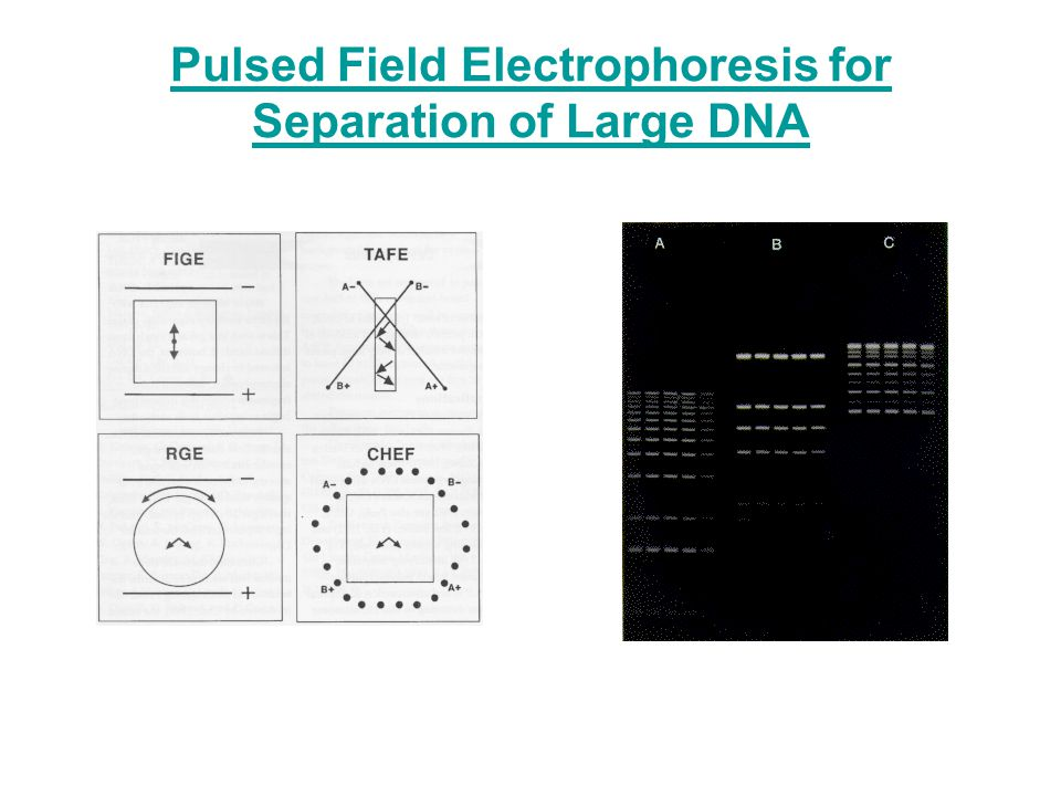 Pulsed Field Electrophoresis for Separation of Large DNA