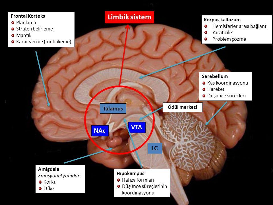 NAc VTA Korpus kallozum Hemisferler arası bağlantı Yaratıcılık Problem çözme Serebellum Kas koordinasyonu Hareket Düşünce süreçleri Hipokampus Hafıza