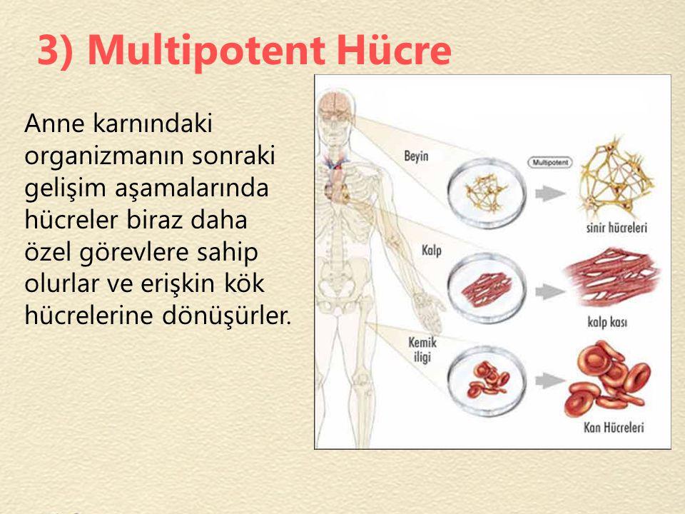3) Multipotent Hücre Anne karnındaki organizmanın sonraki gelişim aşamalarında hücreler biraz daha özel görevlere sahip olurlar ve erişkin kök hücrele
