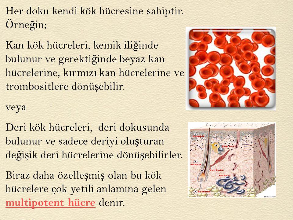 Her doku kendi kök hücresine sahiptir. Örne ğ in; Kan kök hücreleri, kemik ili ğ inde bulunur ve gerekti ğ inde beyaz kan hücrelerine, kırmızı kan hüc