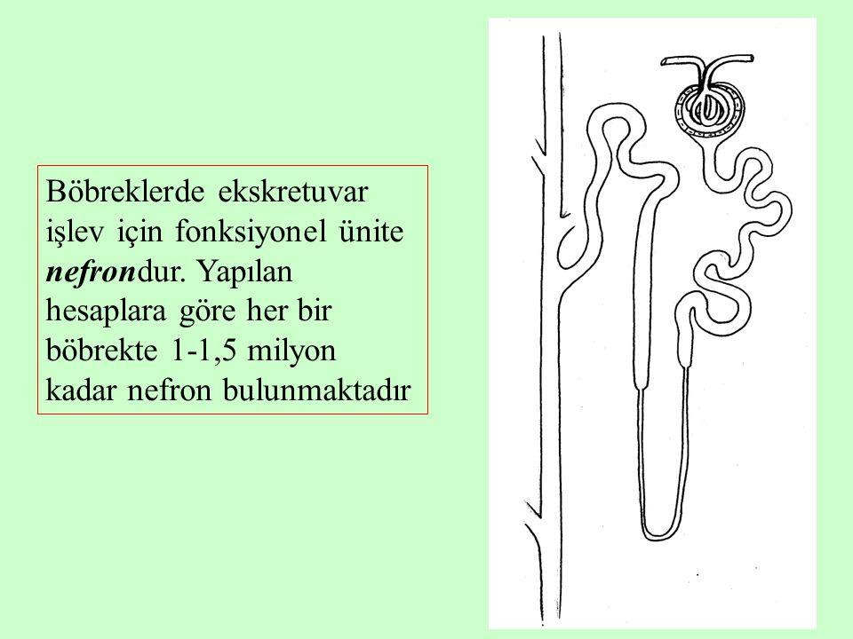 7 Nefron; glomerul, proksimal tübül, henle kulbu, distal tübül ve toplayıcı kanaldan oluşur.