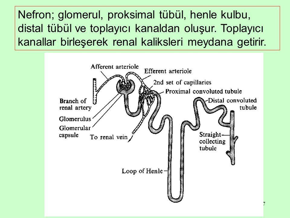 7 Nefron; glomerul, proksimal tübül, henle kulbu, distal tübül ve toplayıcı kanaldan oluşur. Toplayıcı kanallar birleşerek renal kaliksleri meydana ge
