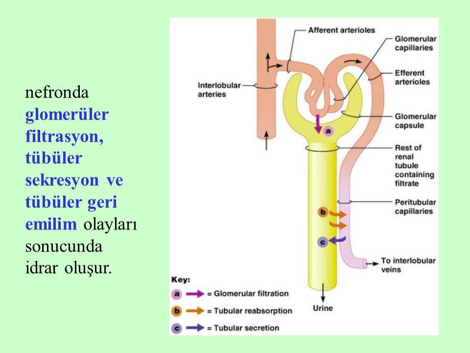 8 nefronda glomerüler filtrasyon, tübüler sekresyon ve tübüler geri emilim olayları sonucunda idrar oluşur.