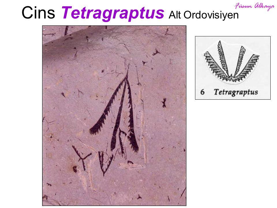 Cins Tetragraptus Alt Ordovisiyen Füsun Alkaya