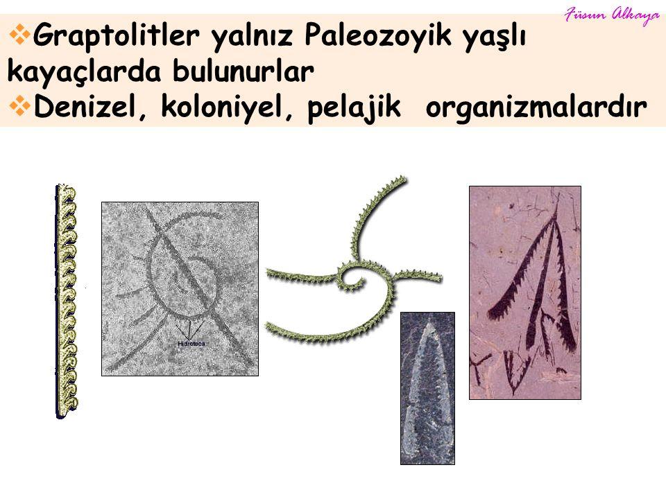  Graptolitler yalnız Paleozoyik yaşlı kayaçlarda bulunurlar  Denizel, koloniyel, pelajik organizmalardır Füsun Alkaya