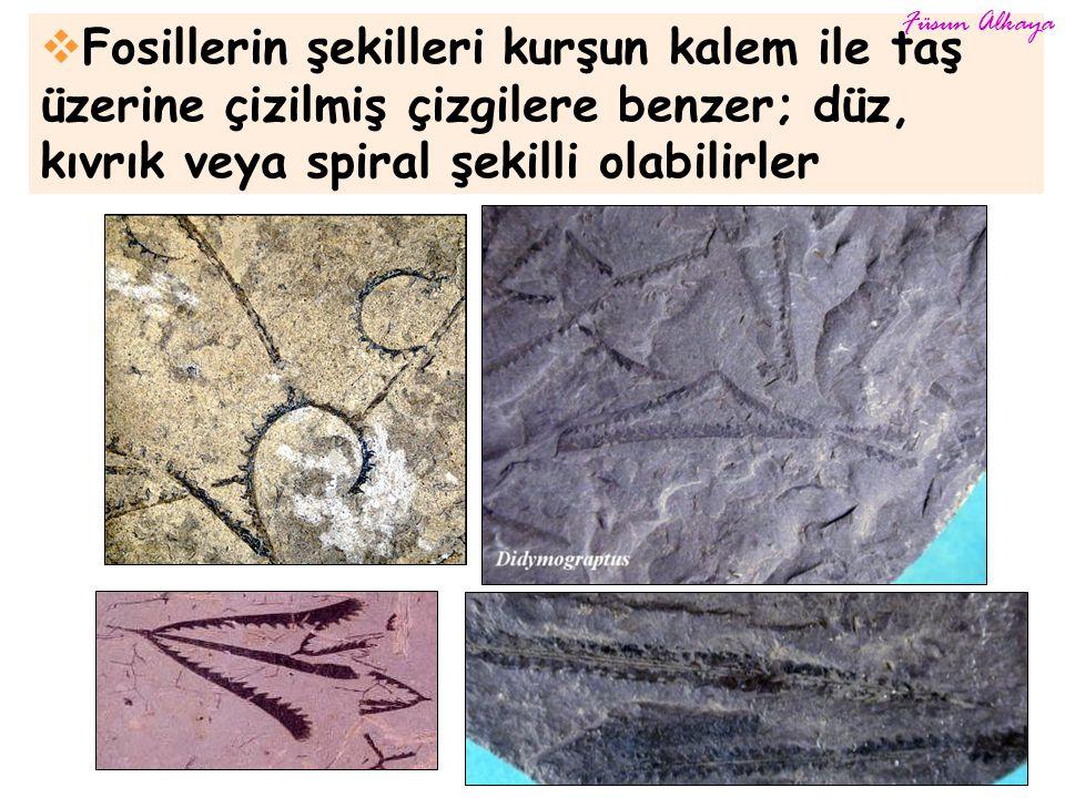  Fosillerin şekilleri kurşun kalem ile taş üzerine çizilmiş çizgilere benzer; düz, kıvrık veya spiral şekilli olabilirler Füsun Alkaya