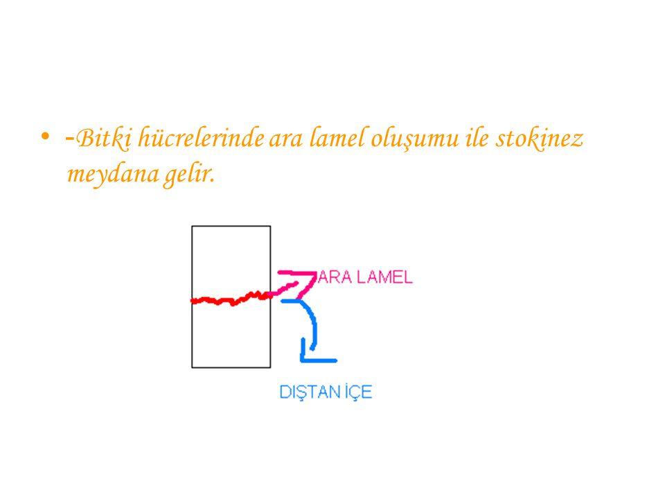 - Bitki hücrelerinde ara lamel oluşumu ile stokinez meydana gelir.