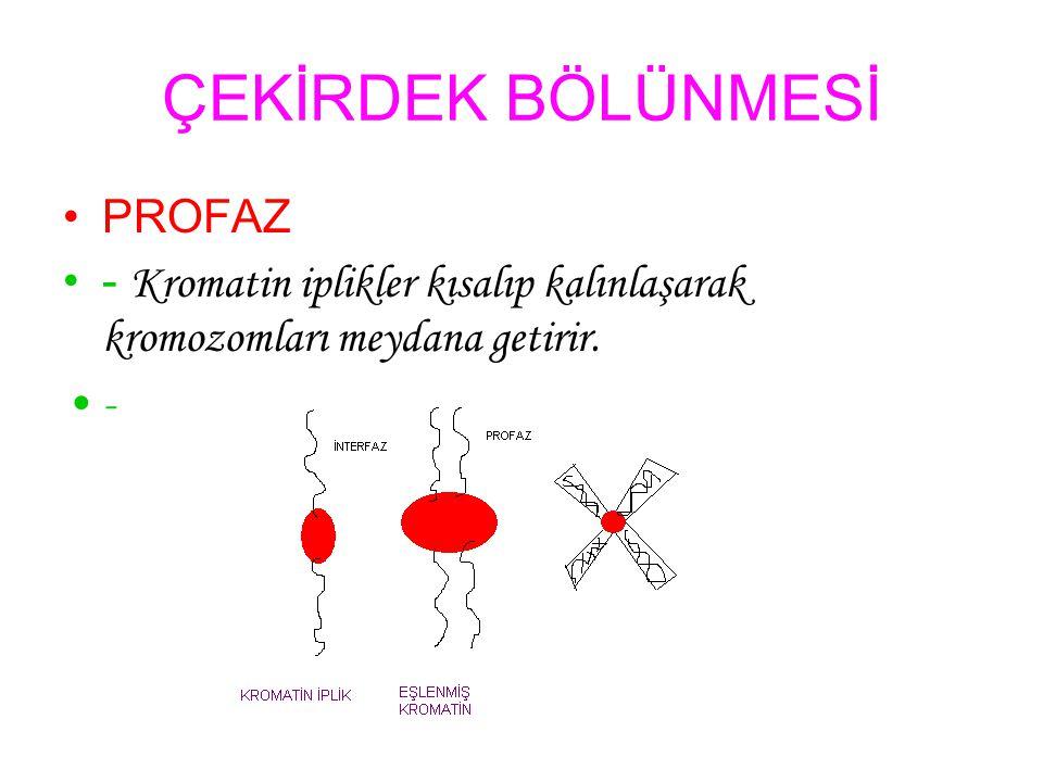 ÇEKİRDEK BÖLÜNMESİ PROFAZ - Kromatin iplikler kısalıp kalınlaşarak kromozomları meydana getirir. -