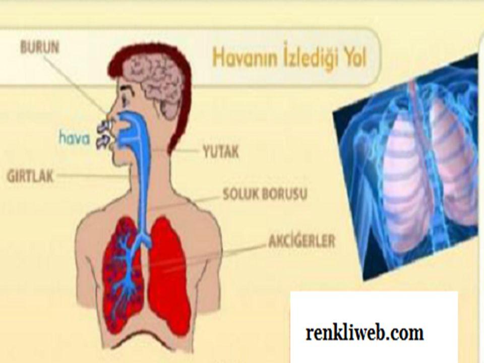SOLUK VERME:Diyafram ve kaburga kasları gevşediği anda göğüs kafesi daralır.