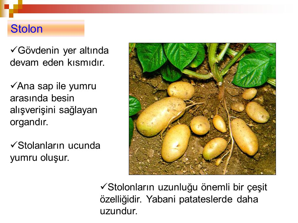 Stolon Gövdenin yer altında devam eden kısmıdır. Ana sap ile yumru arasında besin alışverişini sağlayan organdır. Stolanların ucunda yumru oluşur. Sto