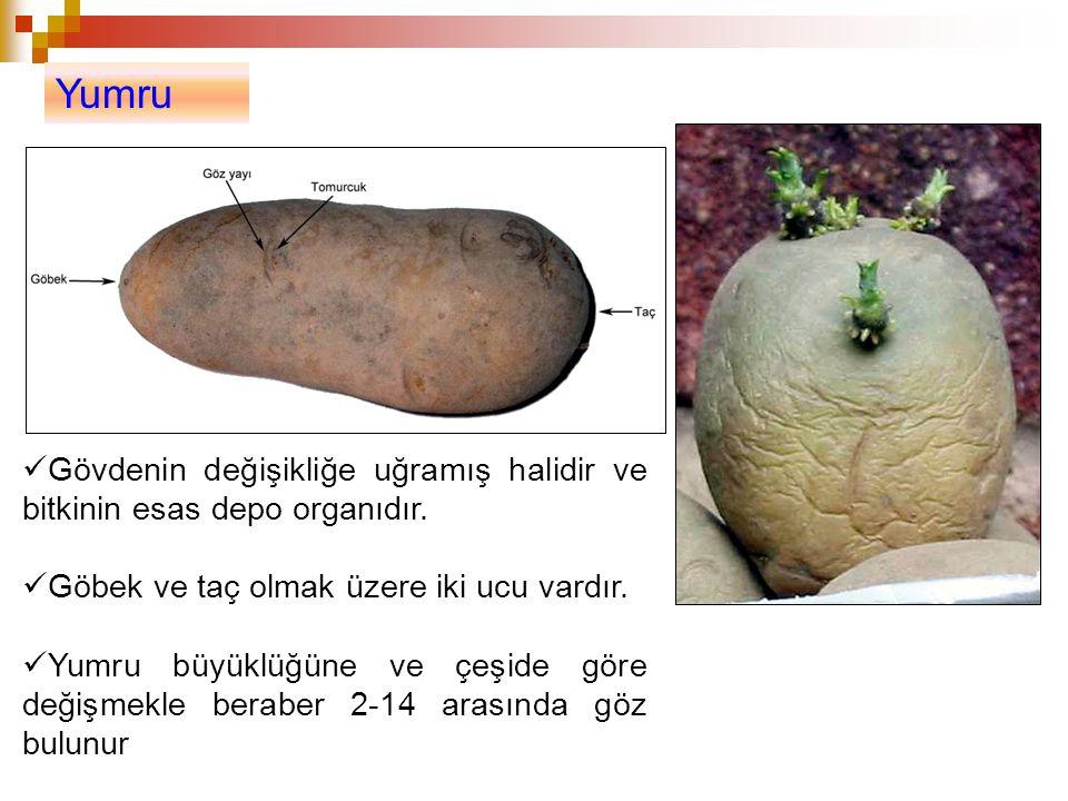 Yumru Gövdenin değişikliğe uğramış halidir ve bitkinin esas depo organıdır. Göbek ve taç olmak üzere iki ucu vardır. Yumru büyüklüğüne ve çeşide göre