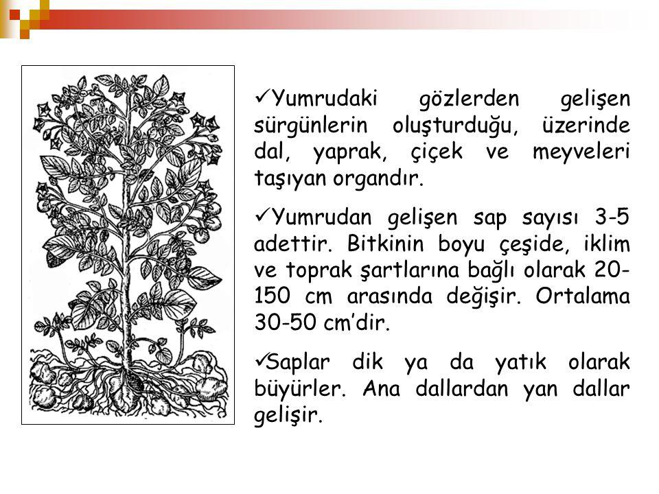 Yumrudaki gözlerden gelişen sürgünlerin oluşturduğu, üzerinde dal, yaprak, çiçek ve meyveleri taşıyan organdır. Yumrudan gelişen sap sayısı 3-5 adetti