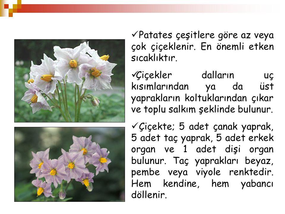 Patates çeşitlere göre az veya çok çiçeklenir. En önemli etken sıcaklıktır. Çiçekler dalların uç kısımlarından ya da üst yaprakların koltuklarından çı