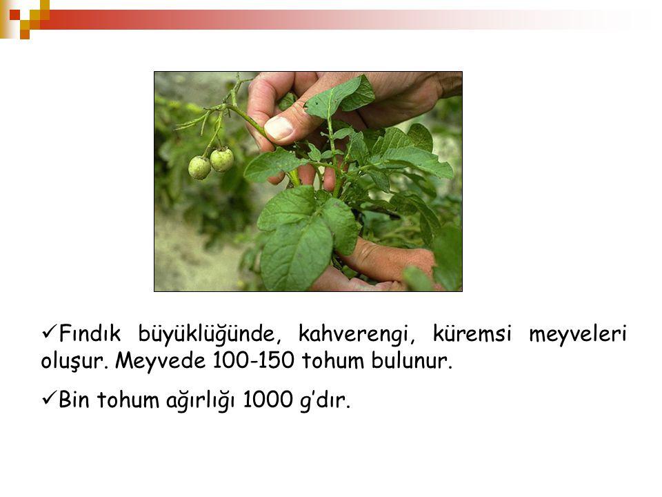 Fındık büyüklüğünde, kahverengi, küremsi meyveleri oluşur. Meyvede 100-150 tohum bulunur. Bin tohum ağırlığı 1000 g'dır.