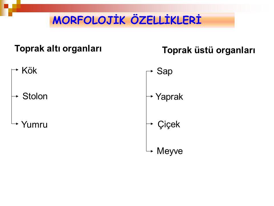 MORFOLOJİK ÖZELLİKLERİ Toprak altı organları Toprak üstü organları Kök Stolon Yumru Sap Yaprak Çiçek Meyve