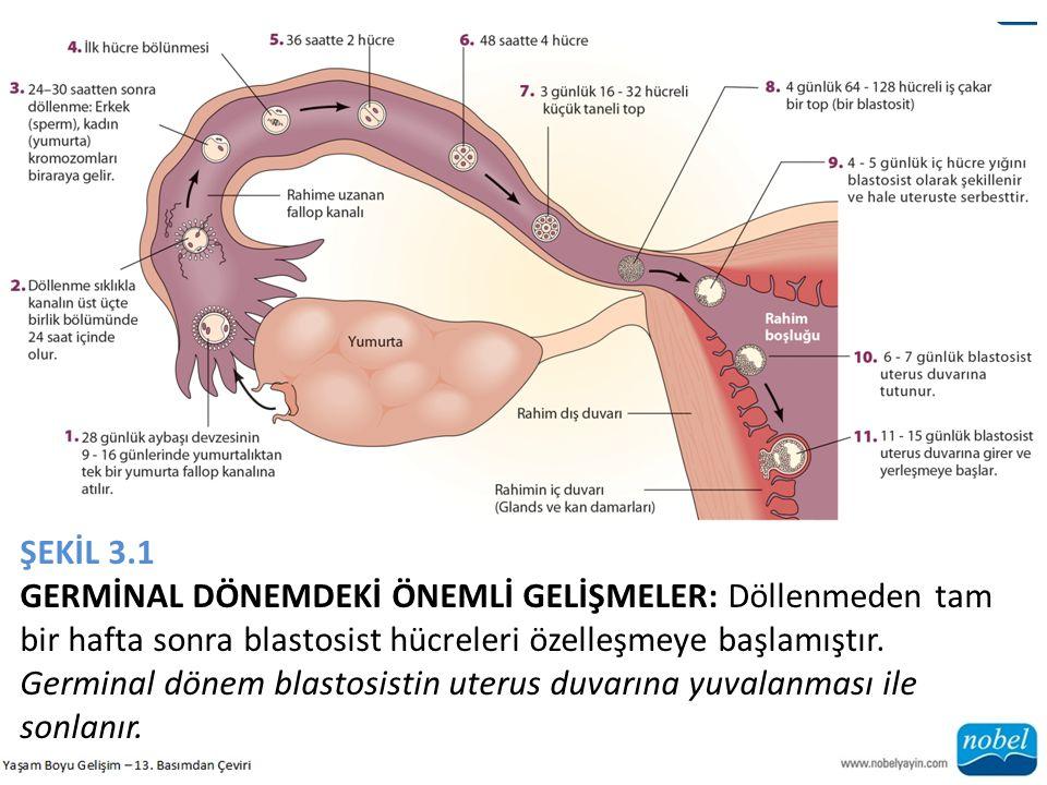 ŞEKİL 3.1 GERMİNAL DÖNEMDEKİ ÖNEMLİ GELİŞMELER: Döllenmeden tam bir hafta sonra blastosist hücreleri özelleşmeye başlamıştır.