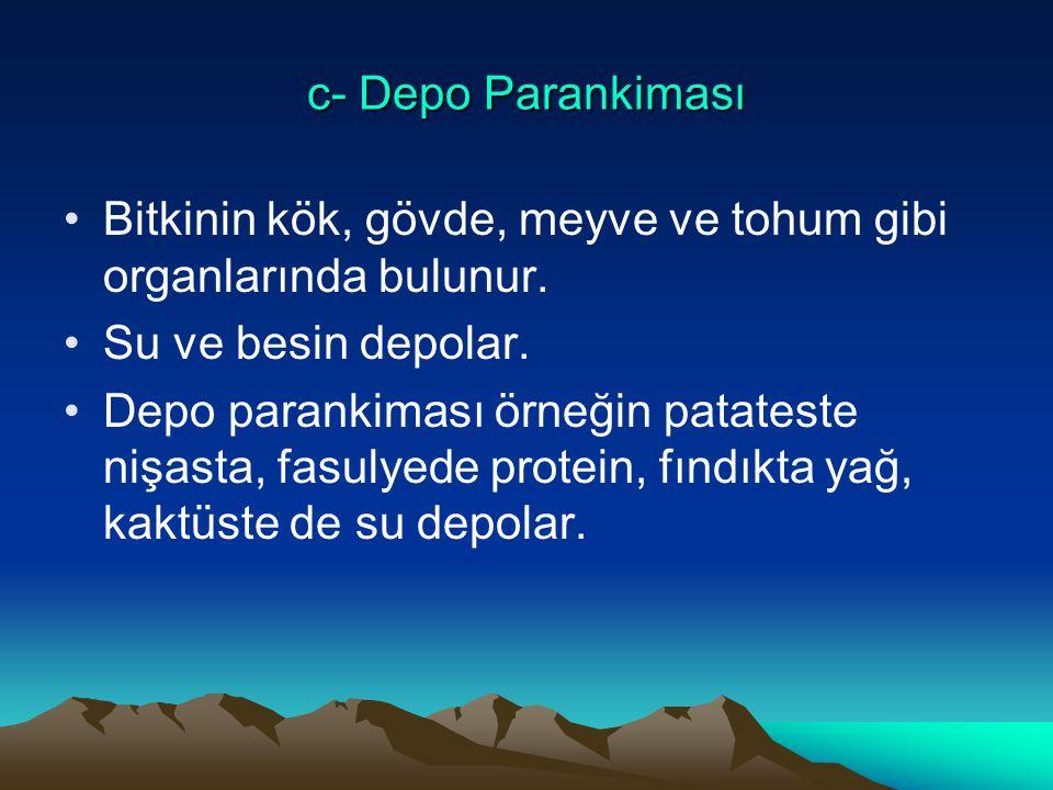 c- Depo Parankiması Bitkinin kök, gövde, meyve ve tohum gibi organlarında bulunur. Su ve besin depolar. Depo parankiması örneğin patateste nişasta, fa