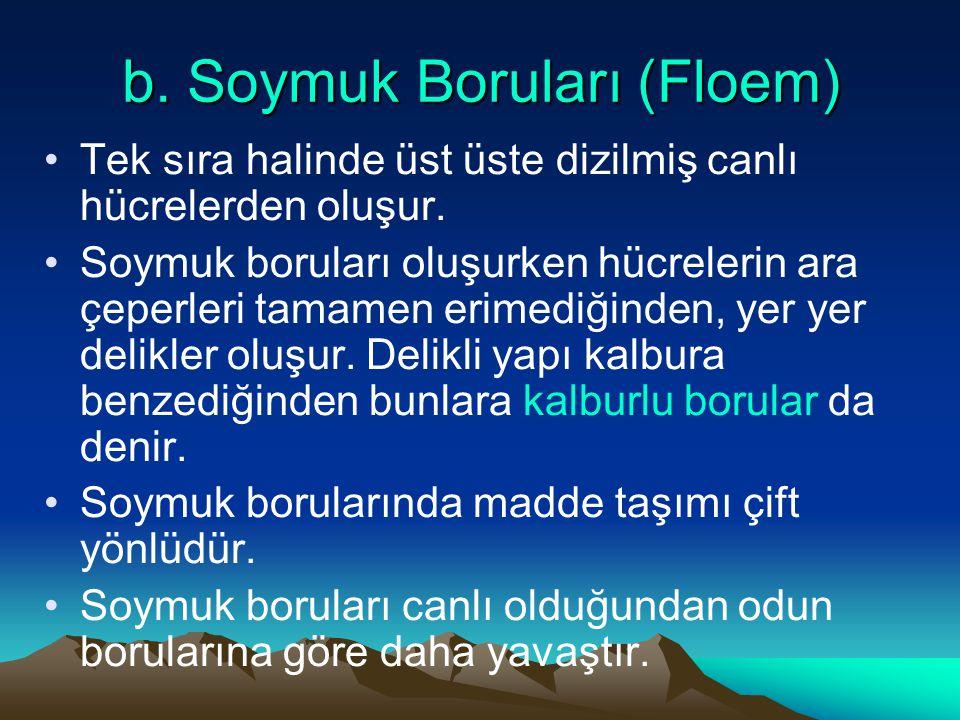 b. Soymuk Boruları (Floem) Tek sıra halinde üst üste dizilmiş canlı hücrelerden oluşur. Soymuk boruları oluşurken hücrelerin ara çeperleri tamamen eri
