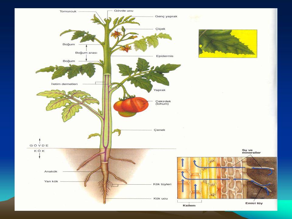 1.Birincil Bölünür Doku Bitkinin, kök ve gövde ucunda bulunur.